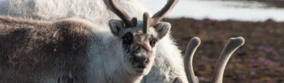 Fokus på Grønlands pattedyr
