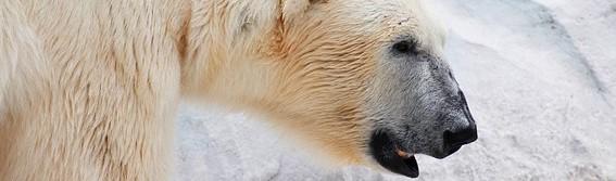 Isbjørnen, ishavets konge og klimaændringer